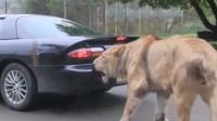 狮子咬住游客汽车的车尾,游客一脚油门下去,搞笑的一幕出现了
