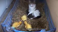 三只鸭宝宝把猫咪当成妈咪,猫去哪都跟着。场面搞笑有爱