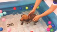 买个迷你泳池让狗狗在家练习狗刨