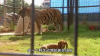 腊肠狗和狮子从小在动物园长大 如今狮子野性没了 和狗狗成好朋友