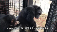 从小在实验室长大的黑猩猩 第一次面对外面的世界 好激动!