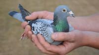 比利时明星赛鸽拍出天价,被神秘中国买家买走