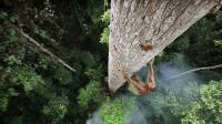 非洲人到底有多拼,徒手爬上40米的大树,原来就是为了弄点野蜂蜜