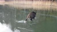 野猪在冰面上摩擦,样子搞笑极了,镜头拍下全过程!