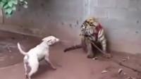 比特犬挑战老虎,开始比特还是个王者,结果连个青铜都不及!