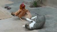 老鼠躲避猫,途中被鸡霸道叼走,老鼠:猜猜我心里阴影面积!