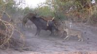 野牛单挑20头狮子 混战中顶飞一头狮子