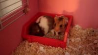仓鼠的日常 13 小仓鼠居然在自己的厕所里洗澡 简直太可爱了