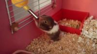 仓鼠的日常 15 小仓鼠宝宝 终于学会喝水了肥嘟嘟的,太可爱了