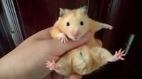 仓鼠的日常 14 仓鼠小黄 正在睡觉 被暗墨直接拿出来吃大白菜