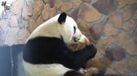 """跟随镜头 去探望做完手术的大熊猫""""福福""""吧"""