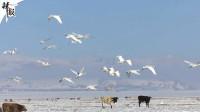 新疆巴音布鲁克:天鹅起舞报春来