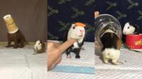 主人本来是给小豚鼠准备的杯子,没想到被泰迪抢去了,太搞笑了