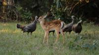 火鸡在林中活得多憋屈?不仅被梅花鹿驱赶,还总被松鼠消遣