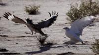 大鸨躲过老鹰偷袭,正在得意时,却不料发生了这样的事!