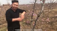 春暖花开后,桃树还是要给冬天的修剪在来个复修。
