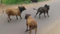 正在马路上溜达的三头牛闲着没事,决定打一架,然后过路的车遭殃