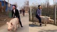 出场自带光环!21岁小伙骑猪走红 粉丝300多万