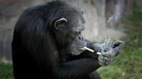猩猩因压力大吸烟成瘾?每天至少一包烟,看样子已经是个老烟枪了