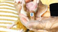 假装定格动画:出生第6天,急着鉴定公母,是三只小公橘?