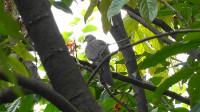 珠项斑鸠与乌鸫