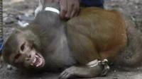 印度猴子泛滥成灾,政府鼓励当地人抓猴子,一只奖励50块你会去吗?
