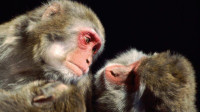 【动物奇兵】猴子也曾是我国的抗倭英雄,火烧敌营立下大功