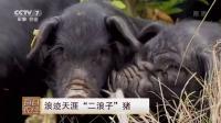 """浪迹天涯""""二浪子""""猪"""