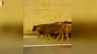 加拿大运牛车出事故  牛群跑上高速路