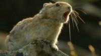 """伊犁鼠兔科普,比""""活化石""""大熊猫更古老、更珍稀的动物!"""