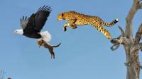 老鹰捕杀猎豹幼崽,母亲为保孩子主动出击,镜头拍下猎豹报仇一幕