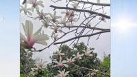上海选育出白玉兰新品种  正式拥有自主知识产权