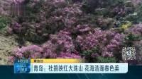 青岛:杜鹃映红大珠山 花海浩瀚春色美