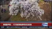 新疆伊犁:3万亩原始野杏花绽放