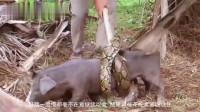 花蛇偶遇野猪激起捕猎欲望,野猪被捕却一脸懵,幸好小孩找人来救