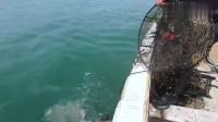 """大叔赶海收螃蟹笼,第一个笼子抓到了""""长毛蟹"""",还有""""石九公"""""""