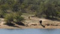 南非水牛被狮群追入河又遭鳄鱼攻击最终被同伴救出