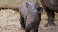 美国:动物园降生珍稀黑犀牛宝宝