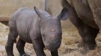 美国动物园降生珍稀黑犀牛宝宝,游客可以通过网络视频进行在线观看!