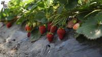 新疆察布查尔:大棚草莓采摘忙