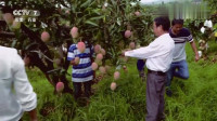 三农刘宗德从绝望中找到了生机后,成为当地芒果种植户的核心