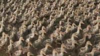 江西6000只鸭田间觅食 场面壮观