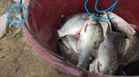 大哥钓鱼真厉害,30分钟时间,6斤大鲫鱼上岸