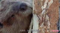 海狸:欧洲最勤劳的哺乳动物,啃得下,木材都是我的!