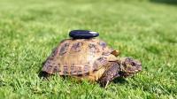 英国一户人家为出逃小乌龟装GPS