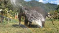 濒危大象为寻找食物翻越篱笆,不料被卡住了,结局令人心痛!