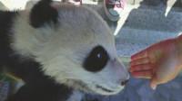 """女子偷摸熊猫宝宝 称被其主动""""碰瓷"""""""