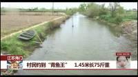 """村民钓到""""青鱼王"""" 1.45米长75斤重"""