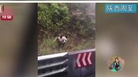 陕西周至:邮递员上班途中偶遇野生大熊猫