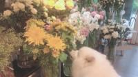 自从花店里面养了只萨摩耶,感觉经营不下去了